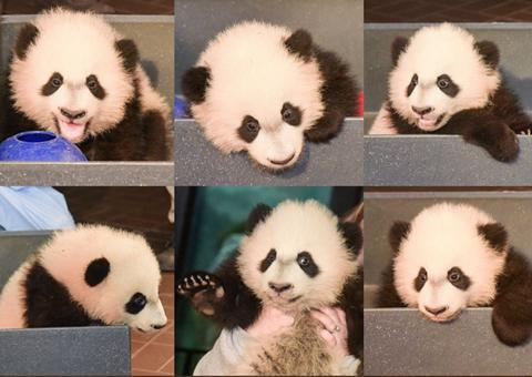 中英文双语新闻对译:美国熊猫宝宝首次亮相
