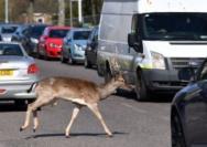 自然收复失地?人类隔离数日后野生动物开始现身城市
